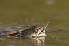 Asiático Python en el río en Nepal Imagenes de archivo