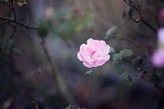 Asiático Rose Blooming na noite foto de stock