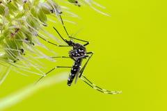 Asiático Tiger Mosquito (albopictus del aedes) Imagen de archivo libre de regalías