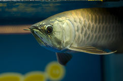 Asia Arowana Gold Royalty Free Stock Images