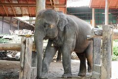 Asia baby elephant Royalty Free Stock Photos