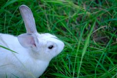 Asia beautiful rabbit on green grass field. Stock Photos