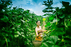 Asia beautiful woman and basket  harvesting containing zucchini Royalty Free Stock Photo