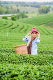Asia beautiful Woman picking tea leaves in a tea plantation Royalty Free Stock Photos