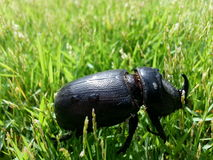 Asia beetle on green grass. Asia  insect crawling on grass Stock Image