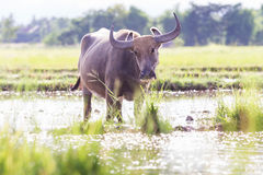Asia buffalo in field, Thailand Stock Images