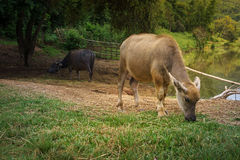 Asia buffalo Royalty Free Stock Images