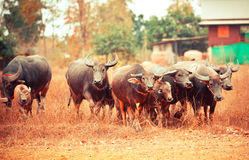 Asia buffalo herd. In thailand stock images