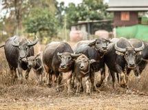 Asia buffalo herd. In thailand royalty free stock photo