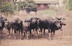 Asia buffalo herd. In thailand royalty free stock photography