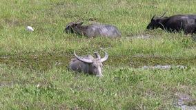 Asia buffalo , Thailand stock video footage