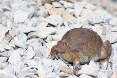 asia bullfrog Arkivbild