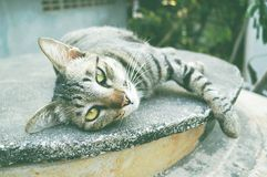 Asia cat Royalty Free Stock Images