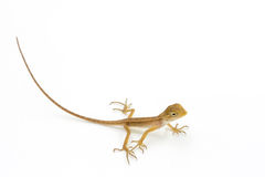 Asia chameleon on white background. Royalty Free Stock Images