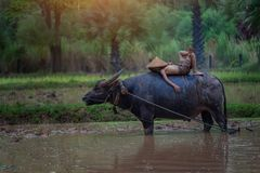 Asia children sleeping on water buffalo at countryside. Stock Photo