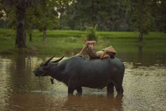Asia children are sleeping on water buffalo at rural. stock photography