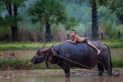 Asia children with water buffalo Royalty Free Stock Photo