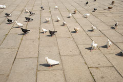 Asia China, Beijing, Chinese Cultural Park,Square, pigeon Royalty Free Stock Image