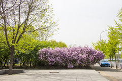 Asia China, Beijing, city street scene, lilac Royalty Free Stock Image
