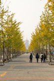In Asia, China, Beijing, Garden Expo Park, Ginkgo biloba Avenue Stock Image