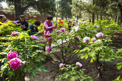 Asia China, Beijing, Jingshan Hill Park, spring garden landscape,Peony Festival Royalty Free Stock Photo