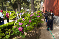 Asia China, Beijing, Jingshan Hill Park, spring garden landscape,Peony Festival Royalty Free Stock Photography