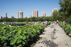 In Asia, China, Beijing, lotus pond park,Landscape Stock Images
