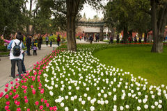 Asia China, Beijing, Zhongshan Park,The flower garden, tulip Royalty Free Stock Photos