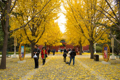 Asia China, Beijing, Zhongshan Park, Ginkgo Avenue Royalty Free Stock Images