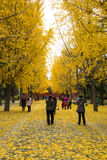 Asia China, Beijing, Zhongshan Park, Ginkgo Avenue Stock Photo