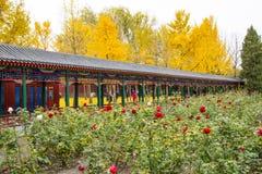 Asia China, Beijing, Zhongshan Park, The promenade, autumn rose flowers Royalty Free Stock Photography