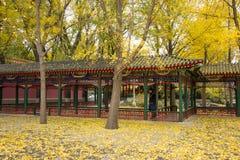 Asia China, Beijing, Zhongshan Park, Promenade, ginkgo tree Stock Photo