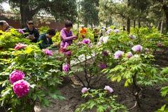 Asia China, Pekín, parque de la colina de Jingshan, festival de ŒPeony del ¼ del landscapeï del jardín de la primavera Foto de archivo libre de regalías