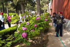 Asia China, Pekín, parque de la colina de Jingshan, festival de ŒPeony del ¼ del landscapeï del jardín de la primavera Fotografía de archivo libre de regalías