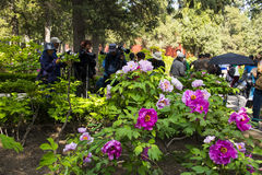 Asia China, Pekín, parque de la colina de Jingshan, festival de ŒPeony del ¼ del landscapeï del jardín de la primavera Foto de archivo
