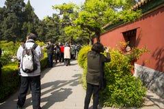 Asia China, Pekín, parque de la colina de Jingshan, festival de ŒPeony del ¼ del landscapeï del jardín de la primavera Fotos de archivo libres de regalías