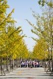Asia Chinese, Beijing, Garden Expo, autumn ginkgo Avenue Stock Image