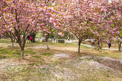 Asia Chinese, Beijing, Yuyuantan Park,The flower garden, cherry, scenery Royalty Free Stock Photography