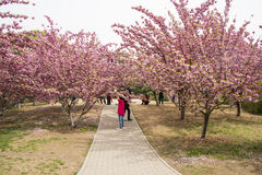 Asia Chinese, Beijing, Yuyuantan Park,The flower garden, cherry, scenery Stock Image