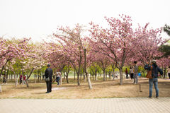 Asia Chinese, Beijing, Yuyuantan Park,The flower garden, cherry, scenery Royalty Free Stock Images