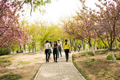 Asia Chinese, Beijing, Yuyuantan Park,The flower garden, cherry, scenery Stock Photos