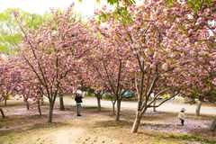 Asia Chinese, Beijing, Yuyuantan Park,The flower garden, cherry, scenery Stock Photography