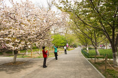 Asia Chinese, Beijing, Yuyuantan Park,The flower garden, cherry, scenery Royalty Free Stock Photos