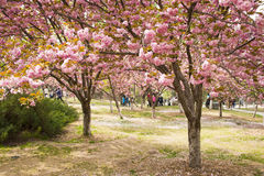Asia Chinese, Beijing, Yuyuantan Park,The flower garden, cherry, scenery Stock Images