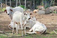 Asia cow Stock Photos