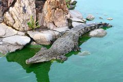 Asia crocodile. In green swamp Stock Photos