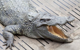 Asia crocodile floating Royalty Free Stock Images