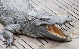 Asia crocodile floating Royalty Free Stock Images