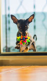 Asia dog pincher toy. Small dog breed average while playing with the ball of colorful Stock Image
