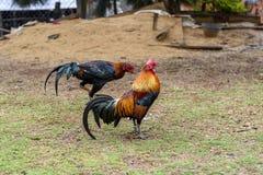 Asia domestic chicken stock image